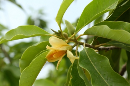 Jasmine grandiflorum absolute | Jasmine oil | Jasmine sambac absolute